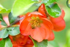 Czerwoni kwiaty Japońska pigwa Zdjęcia Royalty Free