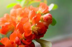 Czerwoni kwiaty Japońska pigwa Obrazy Royalty Free