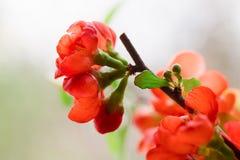 Czerwoni kwiaty Japońska pigwa Obraz Stock