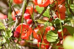 Czerwoni kwiaty Japońska pigwa przez trawy, Zdjęcia Stock