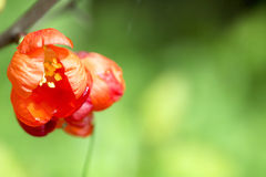 Czerwoni kwiaty Japońska pigwa z wodnymi kroplami Fotografia Royalty Free
