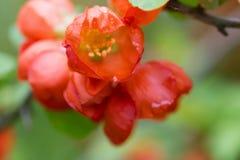 Czerwoni kwiaty Japońska pigwa z wodnymi kroplami Zdjęcia Royalty Free