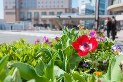 Czerwoni kwiaty kwitną przy droga przemian Obrazy Royalty Free
