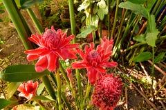 Czerwoni kwiaty podkładają ogień imbirowego Etlingera elatior w ogródzie fotografia royalty free