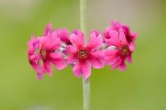 Czerwoni kwiaty Primula kandelabry Zdjęcia Royalty Free