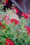 Czerwoni kwiaty przy kwiatu ogródem jako krajobrazowi projektów elementy Fotografia Royalty Free