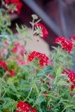 Czerwoni kwiaty przy kwiatu ogródem jako krajobrazowi projektów elementy Obraz Stock