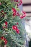 Czerwoni kwiaty przy kwiatu ogródem jako krajobrazowi projektów elementy Obrazy Royalty Free