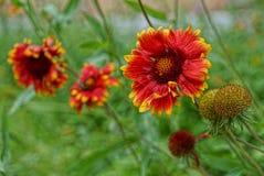 Czerwoni kwiaty w wiosna ogródzie Fotografia Royalty Free