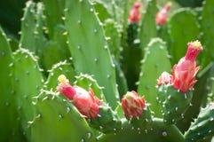 Czerwoni kwiaty zielony kaktus Obraz Royalty Free