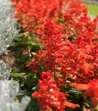 czerwoni kwitnący kwiaty Zdjęcia Stock