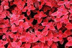 Czerwoni liść Fotografia Stock