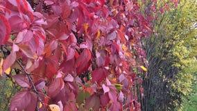 Czerwoni liście dzicy winogrona trząść wiatrem zbiory wideo