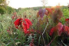 Czerwoni liście dzicy winogrona w drzewach zdjęcie stock