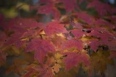 Czerwoni liście jesieni piękno Fotografia Stock