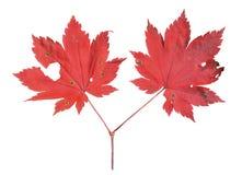 Czerwoni liście klon 10 Zdjęcia Royalty Free