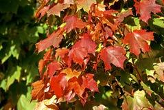 Czerwoni liście klonowi obraz stock