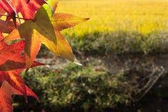 Czerwoni liście klonowi w świetle słonecznym Zdjęcia Stock