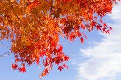 Czerwoni liście klonowi z niebieskiego nieba tłem Zdjęcia Royalty Free