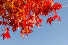 Czerwoni liście klonowi z niebieskiego nieba tłem Zdjęcie Stock