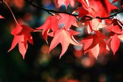 Czerwoni liście klon Zdjęcia Stock