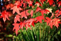 Czerwoni liście klon Fotografia Royalty Free