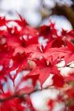 Czerwoni liście klonowi, Japonia jesieni sezon Obrazy Stock