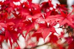 Czerwoni liście klonowi, Japonia jesieni sezon Fotografia Royalty Free