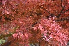 Czerwoni liście klonowi na klonowych drzewach Obraz Stock