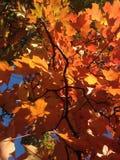 Czerwoni liście klonowi w central park, Manhattan Zdjęcie Royalty Free