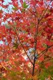 Czerwoni liście klonowi w jesieni Obraz Stock