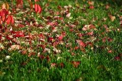 Czerwoni liście na zielonej trawie fotografia stock