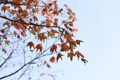 Czerwoni liście zima Zdjęcie Royalty Free