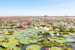 Czerwoni lotosy odpowiadają jezioro w udonthani Thailand zdjęcia royalty free