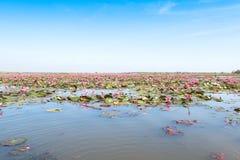 Czerwoni lotosy odpowiadają jezioro w udonthani Thailand obraz royalty free