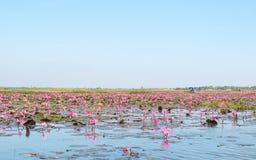 Czerwoni lotosy odpowiadają jezioro w udonthani Thailand Obrazy Royalty Free