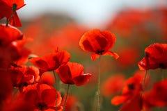 Czerwoni maczków kwiaty zdjęcia stock