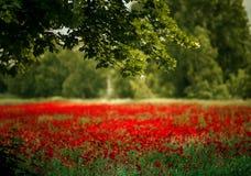 Czerwoni maczków kwiaty zdjęcie royalty free