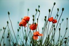 Czerwoni maczków kwiaty zdjęcia royalty free