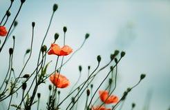 Czerwoni maczków kwiaty obraz royalty free