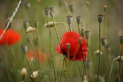 Czerwoni maczków kwiaty fotografia stock