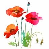Czerwoni maczków kwiaty Obrazy Royalty Free