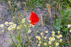 Czerwoni maczków kwiaty i białe stokrotki w trawie w polu fotografia royalty free