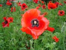 Czerwoni maczków kwiaty, pączki i Fotografia Stock
