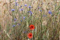 Czerwoni maczki i błękitów kwiaty na pszenicznym polu zdjęcie royalty free