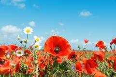 Czerwoni maczki i chamomiles pod niebieskim niebem obraz stock