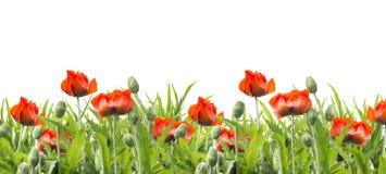 Czerwoni maczki kwitną, kwiecista granica na bielu, odizolowywająca Fotografia Royalty Free