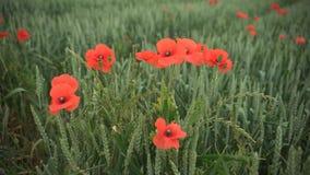 Czerwoni maczki w żółtym pszenicznym polu zbiory wideo