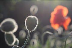 Czerwoni maczki w kwiacie Obrazy Stock