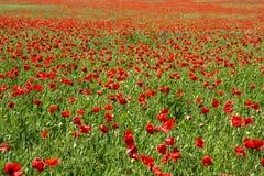 Czerwoni maczki w pogodnej łąkowej żywej teksturze zdjęcie stock